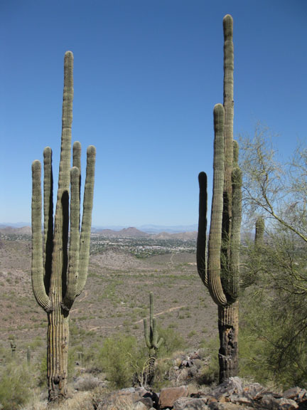 Saguaro brothers